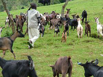 Animal_husbandry_in_Congo